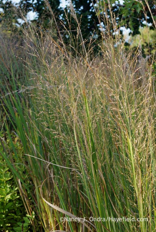 'Dallas Blues' switch grass (Panicum virgatum) seedheads; Nancy J. Ondra at Hayefield