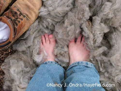 Alpaca fleece path; Nancy J. Ondra at Hayefield