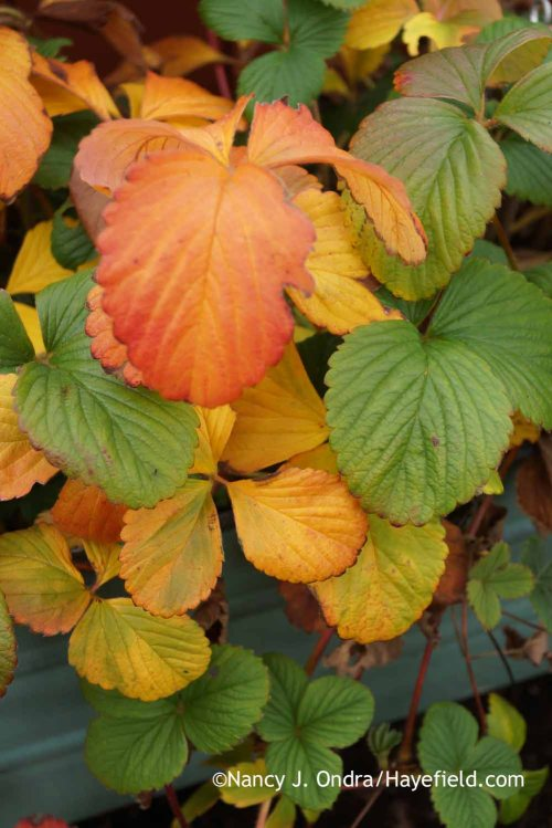 'White Pine' strawberry (Fragaria x ananassa) winter color; Nancy J. Ondra at Hayefield