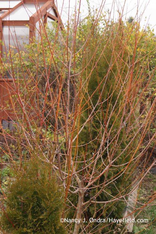 'Britzensis' willow (Salix alba); Nancy J. Ondra at Hayefield