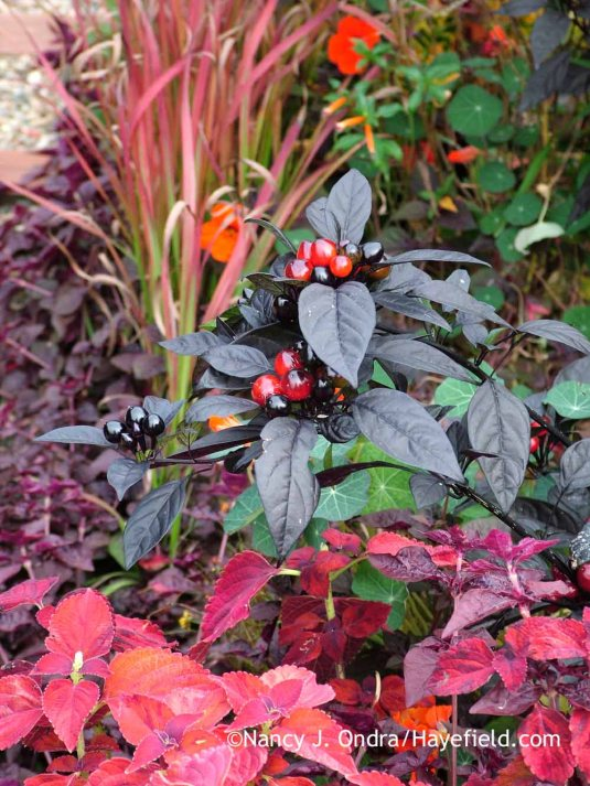 'Black Pearl' pepper (Capsicum annuum) with 'Sedona' coleus (Solenostemon scutellarioides) and Japanese blood grass (Imperata cylindrica 'Rubra') in late September; Nancy J. Ondra at Hayefield