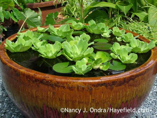 Container Water Garden; Nancy J. Ondra at Hayefield