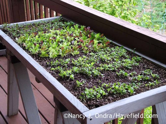 "This was a past year's experiment: using one of my nursery benches as a ""salad table."" It worked out pretty well, actually, but it took up a lot of space, so I prefer to use smaller containers for individual batches of greens. [Nancy J. Ondra at Hayefield]"
