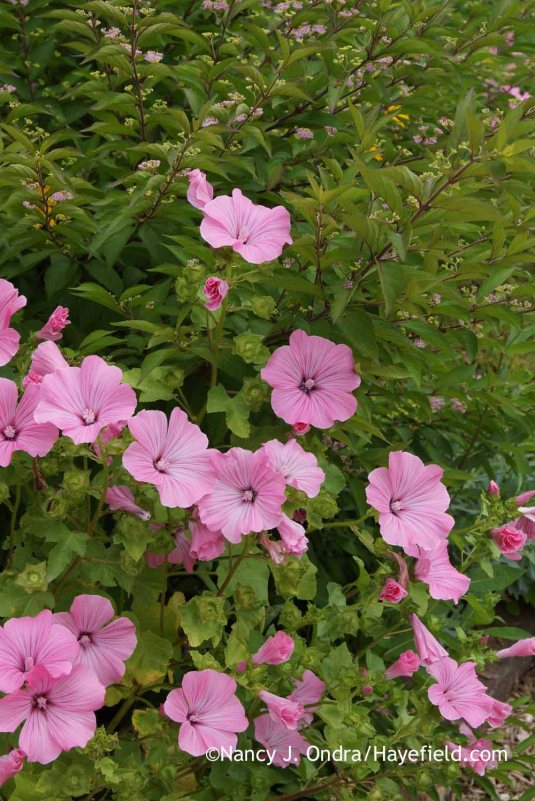 I've never timed the bloom period of annual mallow (Lavatera trimestris) exactly, but it's fair to say that you can expect a good trimester of large pink flowers. [Nancy J. Ondra at Hayefield]