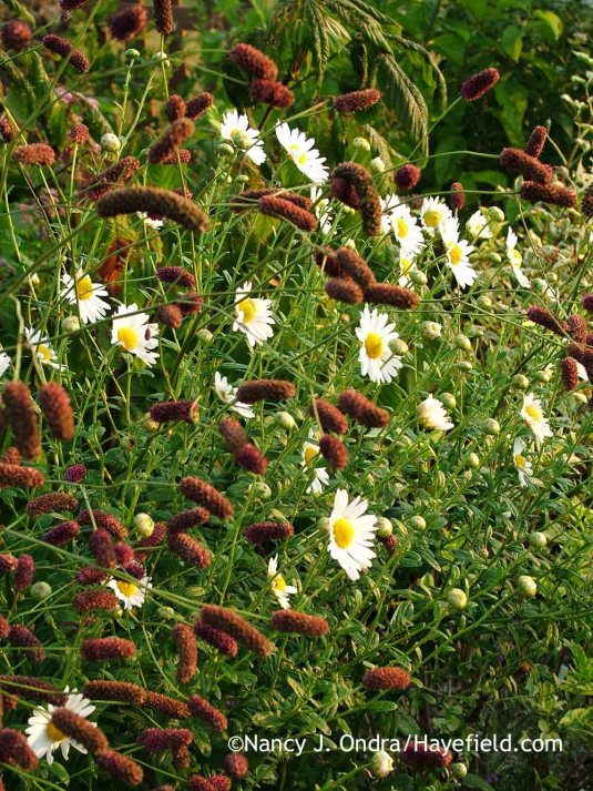 Leucanthemella serotina--sometimes called giant daisy--is indeed a late bloomer, flowering in September and October. Here, it's mingling with the equally tall flowers of Japanese burnet (Sanguisorba tenuifolia 'Purpurea'). [Nancy J. Ondra at Hayefield]
