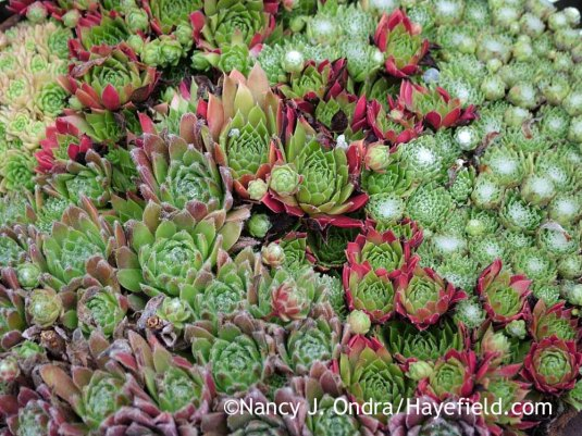 "Sempervivum (""always alive""): the genus name for the tough-to-kill hens-and-chicks; Nancy J. Ondra at Hayefield"