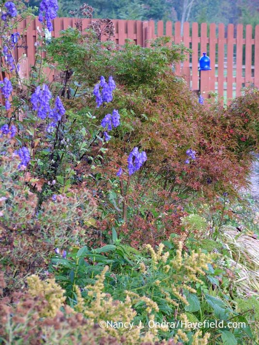 Azure monkshood (Aconitum carmichaelii Arendsii Group) with goldenrod (Solidago) against a Japanese maple (Acer palmatum) [October 10, 2011]; Nancy J. Ondra at Hayefield