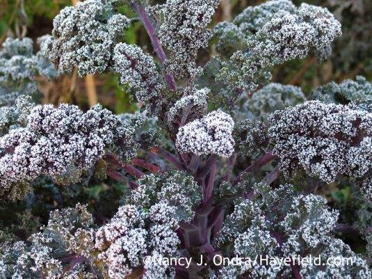 'Redbor' kale [December 8, 2007]; Nancy J. Ondra at Hayefield