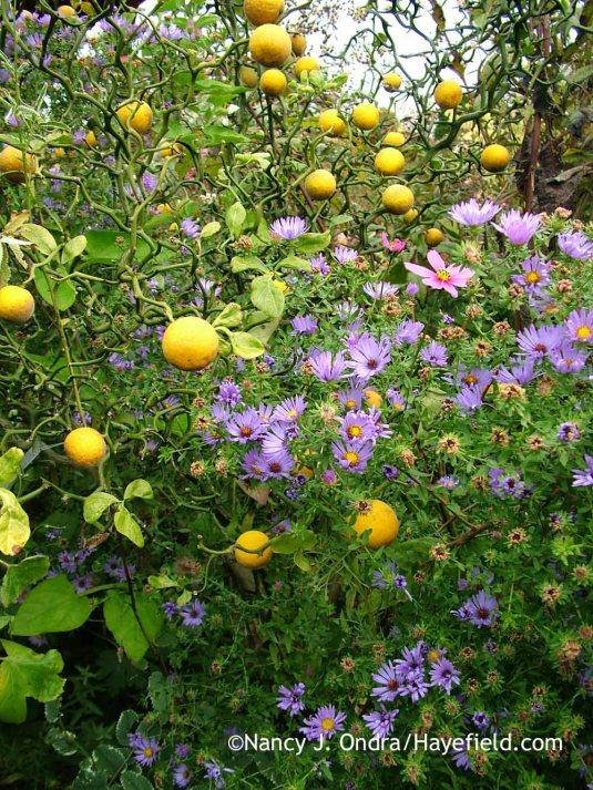 'Flying Dragon' hardy orange (Poncirus [Citrus] trifoliata) with aromatic aster (Symphyotrichum oblongifolium) [October 18, 2008]; Nancy J. Ondra at Hayefield