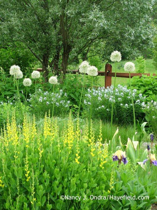 'Mount Everest' allium (Allium) with 'Screamin' Yellow' yellow false indigo (Baptisia sphaerocarpa), 'Edith Wolford' bearded iris, Arkansas bluestar (Amsonia hubrichtii), and silver willow (Salix alba var. sericea); Nancy J. Ondra at Hayefield