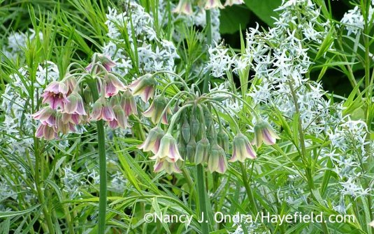 Sicilian honey garlic (Allium siculum [Nectaroscordon siculum)] with Arkansas bluestar (Amsonia hubrichtii); Nancy J. Ondra at Hayefield