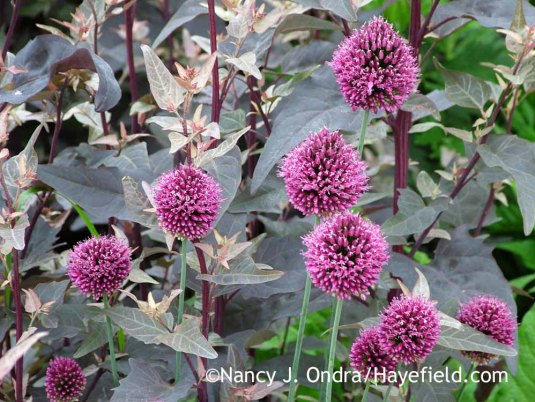 Drumstick allium (Allium sphaerocephalon) against red orach (Atriplex hortensis var. rubra); Nancy J. Ondra at Hayefield