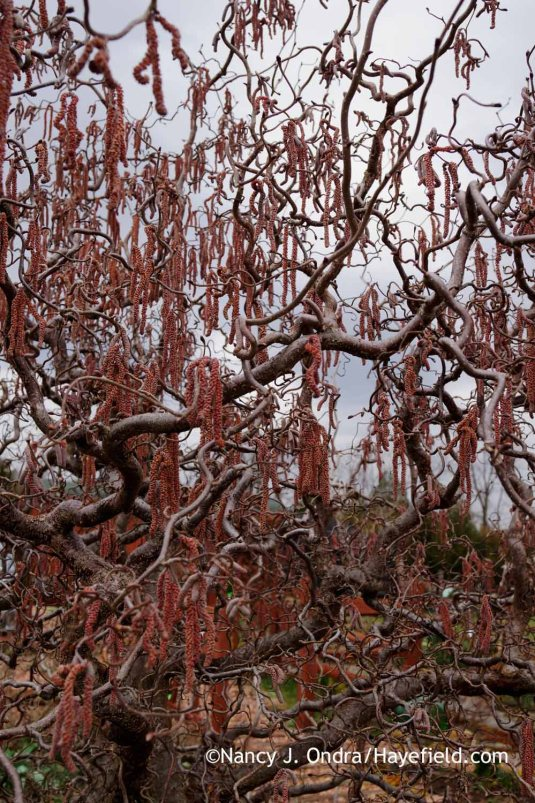 'Red Majestic' contorted hazel (Corylus avellana); Nancy J. Ondra at Hayefield