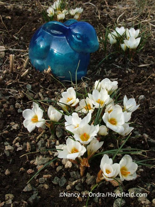 'Snow Bunting' crocus (Crocus); Nancy J. Ondra at Hayefield