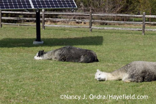 Duncan and Daniel soaking up the sun; Nancy J. Ondra at Hayefield