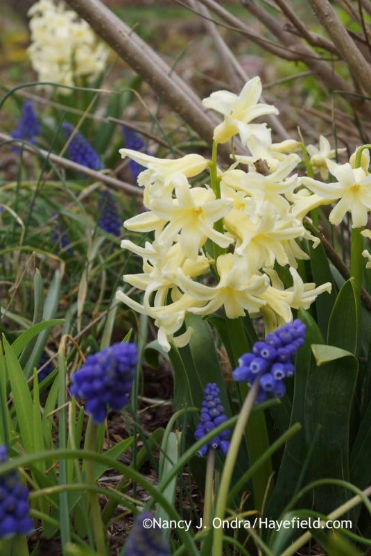 'Yellow Queen' Dutch hyacinth (Hyacinthus orientalis) with grape hyacinth (Muscari armeniacum); Nancy J. Ondra at Hayefield