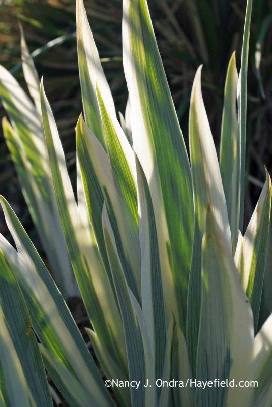 White-variegated sweet iris (Iris pallida 'Argentea Variegata'); Nancy J. Ondra at Hayefield