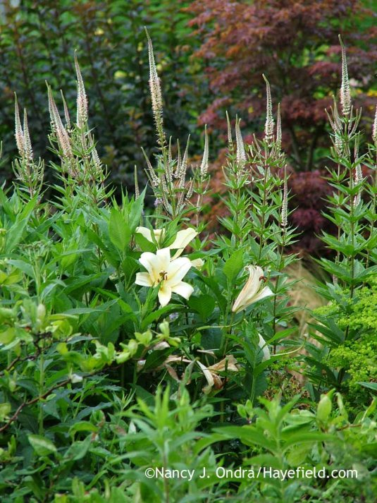 'Conca d'Or' Orienpet lily (Lilium) with 'Erica' Culver's root (Veronicastrum virginicum) [July 4, 2012]; Nancy J. Ondra at Hayefield