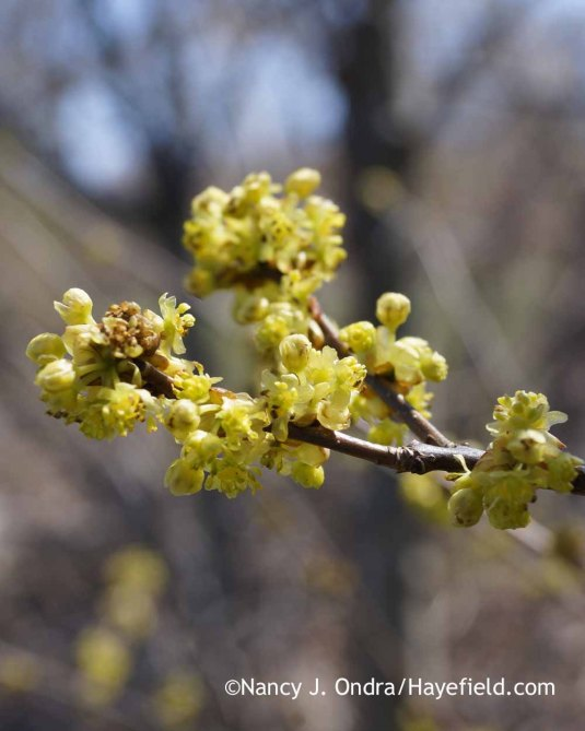 Northern spicebush (Lindera benzoin); Nancy J. Ondra at Hayefield