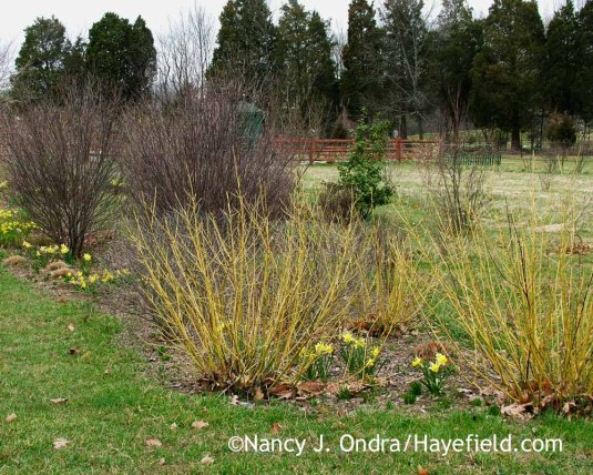 'February Gold' daffodil (Narcissus) with 'Bud's Yellow' dogwood (Cornus sericea); Nancy J. Ondra at Hayefield