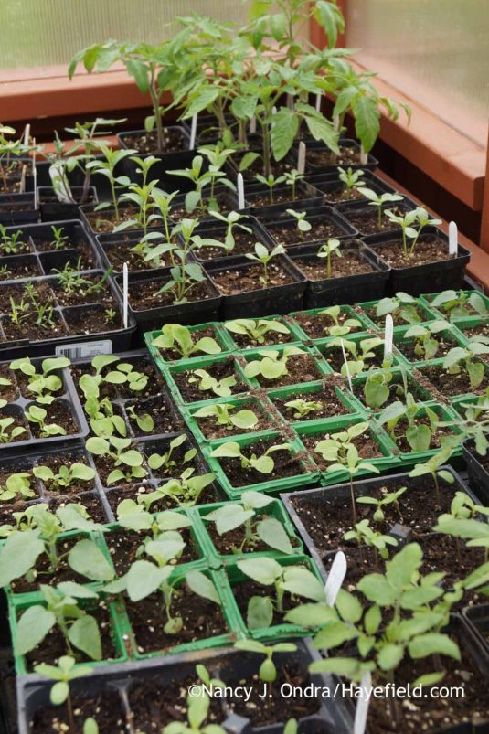 2016 seedlings; Nancy J. Ondra at Hayefield