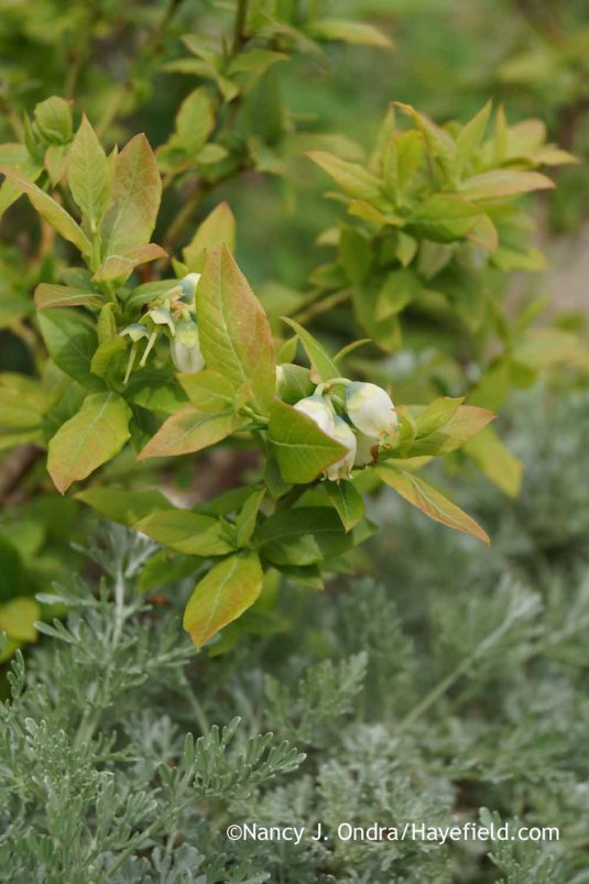 'Top Hat' blueberry (Vaccinium) in bloom with 'Powis Castle' artemisia (Artemisia) [Nancy J. Ondra at Hayefield]