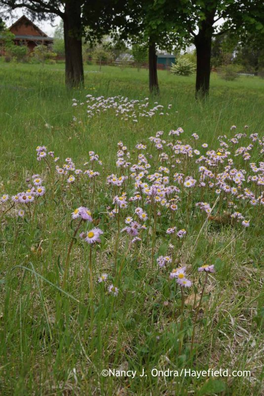 This has also been a particularly good year for robin's plantain (Erigeron pulchellus), also known as robin's fleabane. Their color is often white or pink, but there are also some nice purples in the lower meadow areas. I normally pull the plants out of my borders, because they can spread quickly, but I'm almost tempted to bring a few of these into my cottage garden. [Nancy J. Ondra at Hayefield]