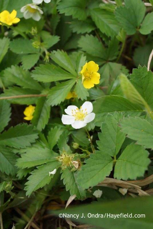 Wild strawberry (Fragaria virginiana) and common cinquefoil (Potentilla simplex) [Nancy J. Ondra at Hayefield]