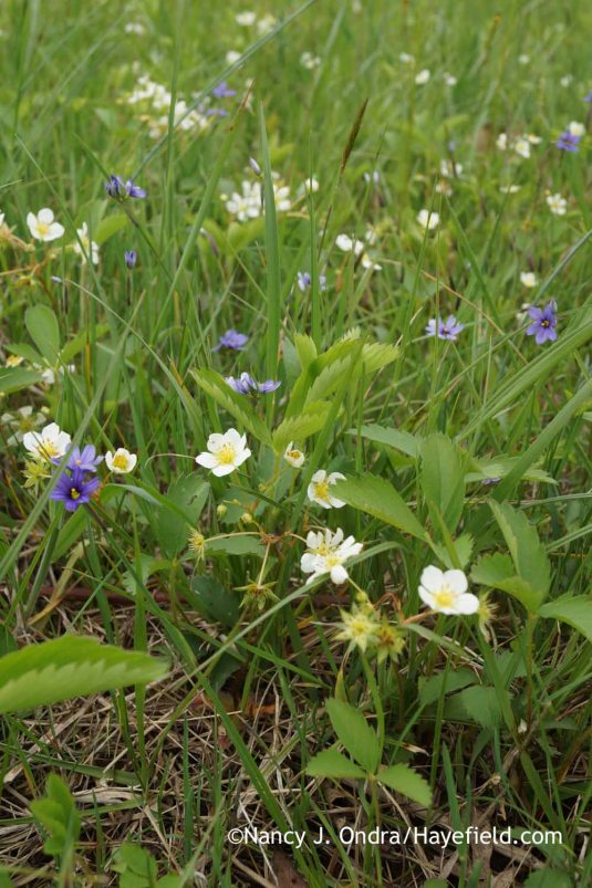 Wild strawberry (Fragaria virginiana) and narrowleaf blue-eyed grass (Sisyrinchium angustifolium) in the meadow [Nancy J. Ondra at Hayefield]