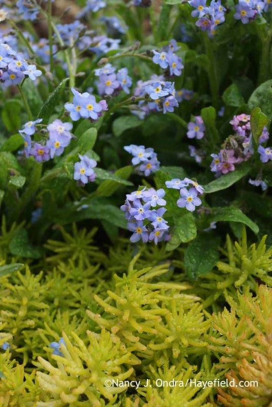 It wouldn't be spring without a few forget-me-nots (Myosotis sylvatica)! Well, ok, it's hard to have just a few, once you let them go to seed a few times, but I'm happy to have them wherever they appear. This clump placed itself nicely in a carpet of 'Angelina' sedum (Sedum rupestre). [Nancy J. Ondra at Hayefield]