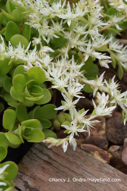 Woodland sedum (Sedum ternatum) can grow pretty much anywhere, from sun to shade and in moist or dry soil. [Nancy J. Ondra at Hayefield]