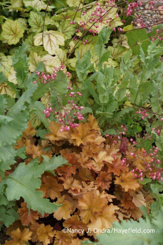 Orange 'Christa' heuchera (Heuchera) with the yellow leaves and reddish pink flowers of 'Circus' heuchera and the blue-gray foliage of 'Lauren's Grape' poppy (Papaver) [Nancy J. Ondra at Hayefield]
