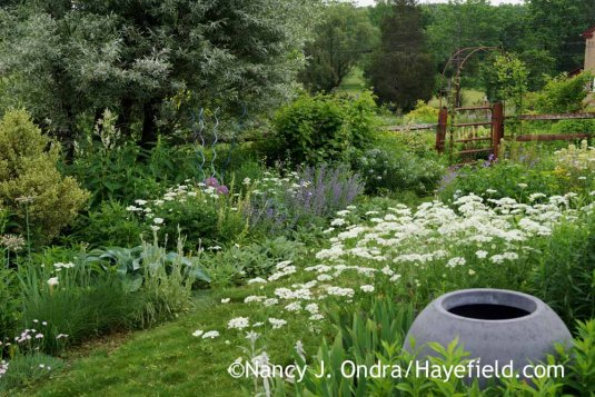 Diagonal border in the side garden at Hayefield from the opposite direction, with a patch of white lace flower (Orlaya grandiflora) in the foreground [Nancy J. Ondra]