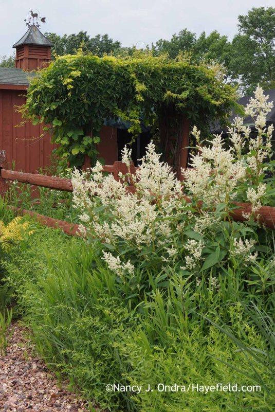 Giant fleeceflower (Persicaria polymorpha) [Nancy J. Ondra at Hayefield]