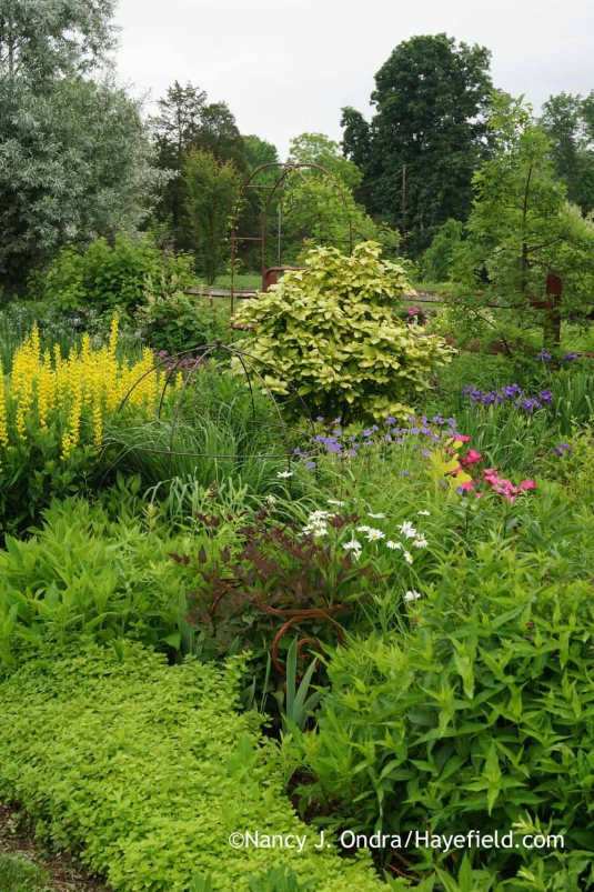 Another vignette in the side garden at Hayefield, with Serious Black clematis (Clematis recta 'Lime Close'), 'Screamin' Yellow' yellow false indigo (Baptisia sphaerocarpa), and variegated wayfaring tree (Viburnum lantana) [Nancy J. Ondra at Hayefield]
