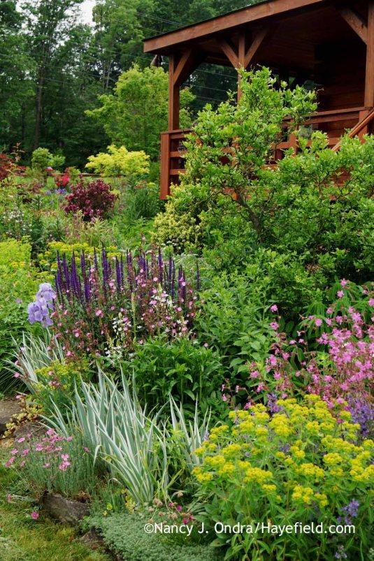 The inner border in the side garden at Hayefield, including white-variegated sweet iris (Iris pallida 'Argentea Variegata'), Euphorbia palustris 'Zauberflote', 'Ray's Golden Campion' red campion (Silene dioica), Ornithogalum magnum, and 'Caradonna' perennial salvia (Salvia) [Nancy J. Ondra at Hayefield]