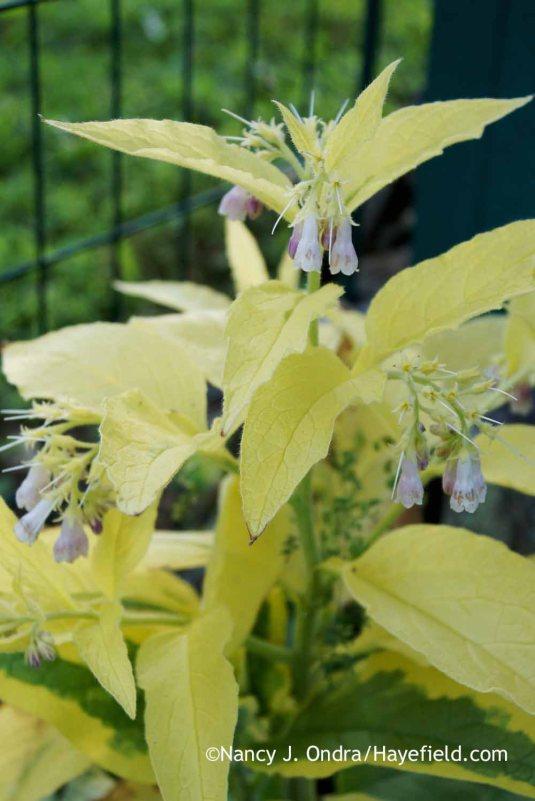 A solid-yellow sport of 'Axminster Gold' Russian comfrey (Symphytum x uplandicum) [Nancy J. Ondra at Hayefield]
