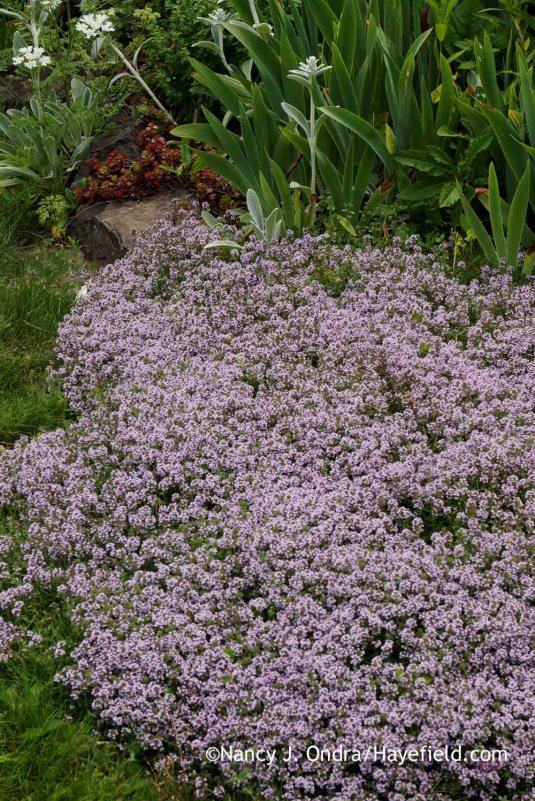Creeping thyme (Thymus praecox Coccineus Group) [Nancy J. Ondra at Hayefield]