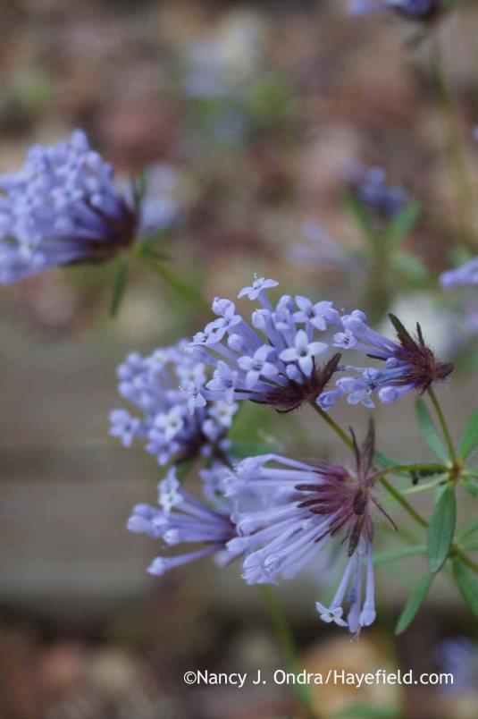 Charming annual blue woodruff (Asperula orientalis) [Nancy J. Ondra at Hayefield]