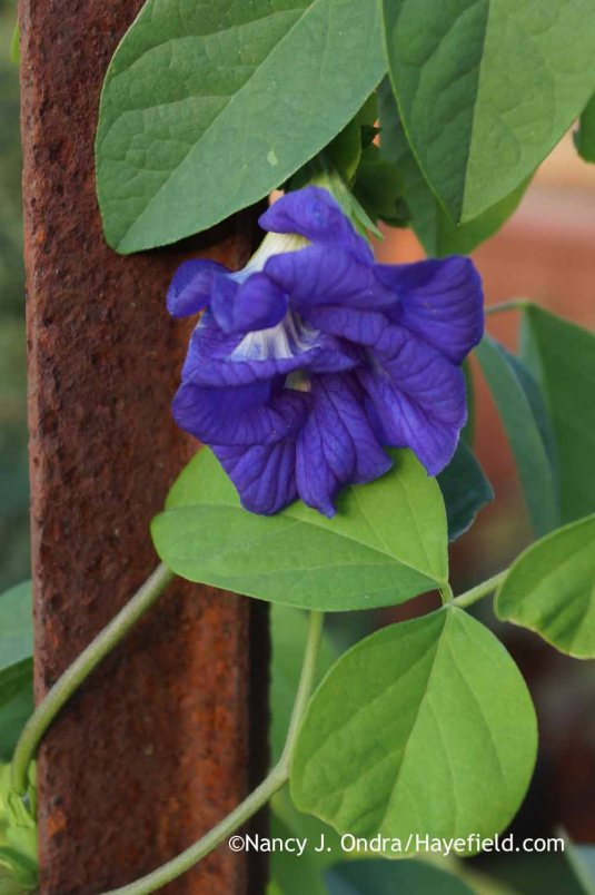 'Double Blue' butterfly pea (<em>Clitorea ternatea</em>): flowering now from seed sown in mid-April [Nancy J. Ondra at Hayefield]