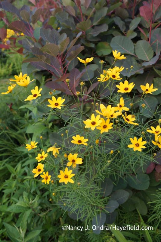 I acquired this plant years ago as Coreopsis tripteris. The flowers look right, but the foliage is more similar to that of Coreopsis verticillata. Could be a hybrid, I guess. Whatever it is, it's an outstanding garden plant, reaching about 5 feet if unpruned, with a very dense, upright habit. Here, it's with 'Grace' smokebush (Cotinus). [Nancy J. Ondra at Hayefield]