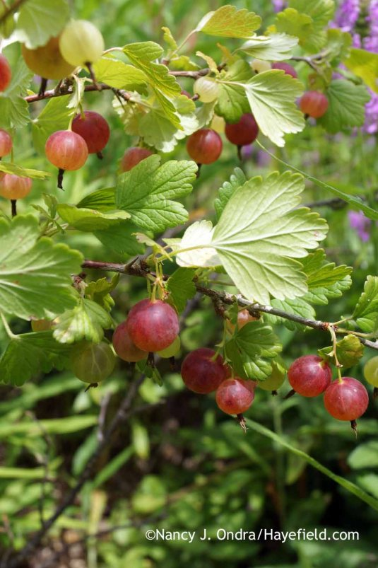'Pixwell' gooseberry (Ribes uva-crispa) [Nancy J. Ondra at Hayefield]