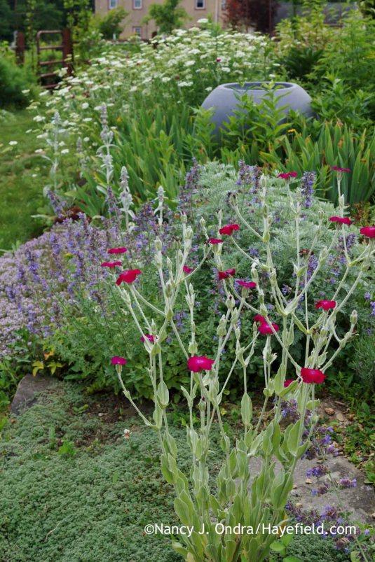 A summer classic: rose campion (Lychnis coronaria) [Nancy J. Ondra at Hayefield]
