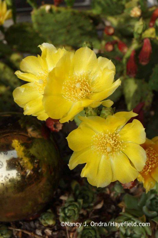 Eastern prickly pear (Opuntia humifusa) [Nancy J. Ondra at Hayefield]