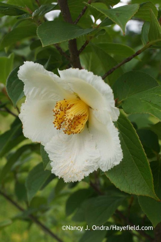 Japanese stewartia (Stewartia pseudocamellia) [Nancy J. Ondra at Hayefield]