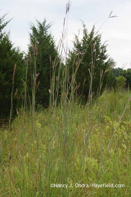 Big bluestem (Andropogon gerardii) in the meadow: one of the few plants that has not noticed the drought at all! [Nancy J. Ondra at Hayefield]
