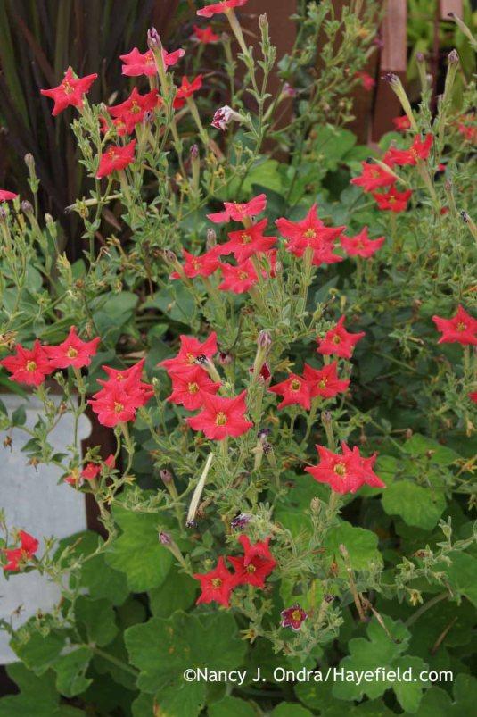 Petunia exserta [Nancy J. Ondra at Hayefield]