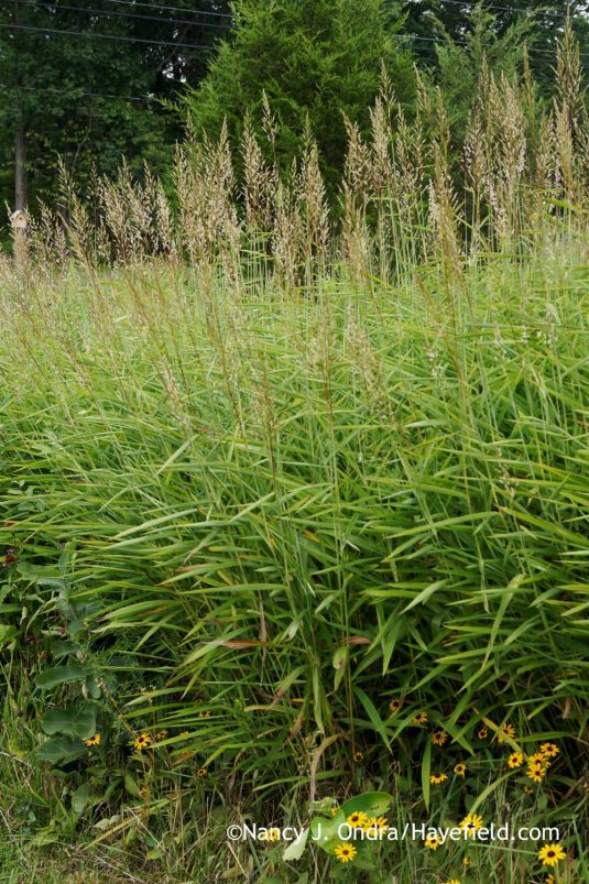 Graybeard grass or frost grass (Spodiopogon sibiricus) [Nancy J. Ondra at Hayefield]