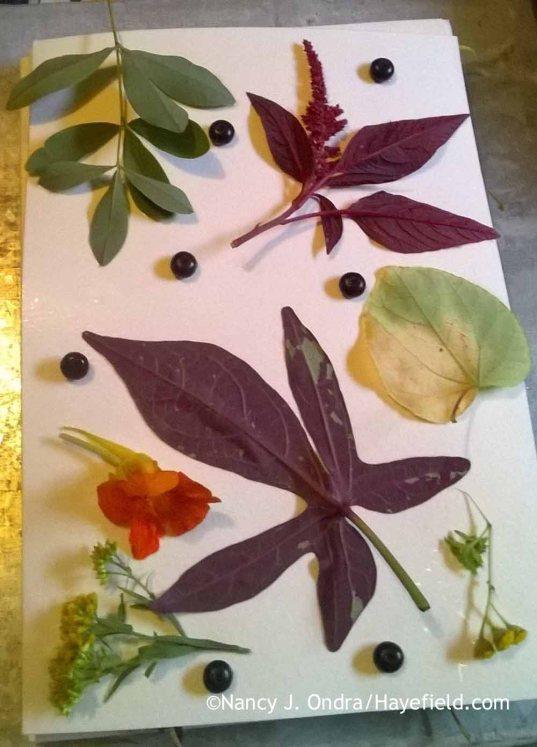 Eco printing with (from top left) blue false indigo (Baptisia australis), pokeweed (Phytolacca americana) berries, 'Hopi Red Dye' amaranth (Amaranthus), katsura tree (Cercidiphyllum japonicum), 'Isla Gold' tansy (Tanacetum vulgare), 'Camouflage' sweet potato vine (Ipomoea batatas), grass-leaved goldenrod (Euthamia graminifolia), and nasturtium (Tropaeolum majus) [Nancy J. Ondra at Hayefield]