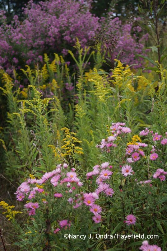 New England aster (Symphyotrichum novae-angliae) with goldenrod (Solidago) and 'Gibraltar' bush clover (Lespedeza capitata) [Nancy J. Ondra at Hayefield]